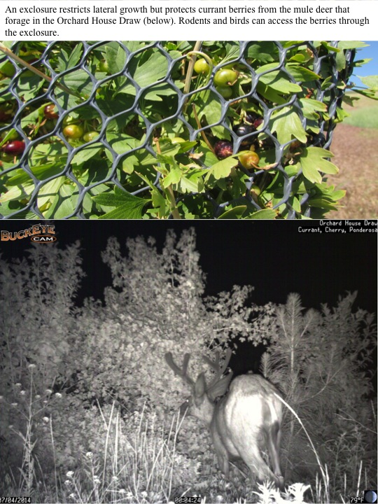 An exclosure restricts lateral growth but protects currant berries from the mule deer that forage in the Orchard House Draw (below). Rodents and birds can access the berries through the exclosure.